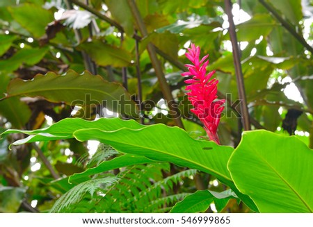 flowering ginger alpinia purpurata in tropical garden in Hawaii big island Oahu