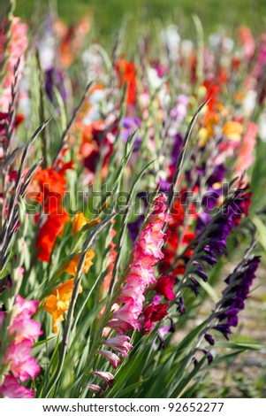 flowering gladioli in a sea of ??spring green - stock photo