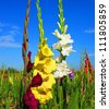 Flowering gladiolus in the field - stock photo