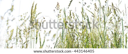 flowering grass in detail - allergens - stock photo