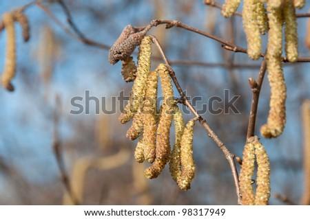 flowering hazel - stock photo