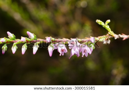 flowering heather (macro) - stock photo