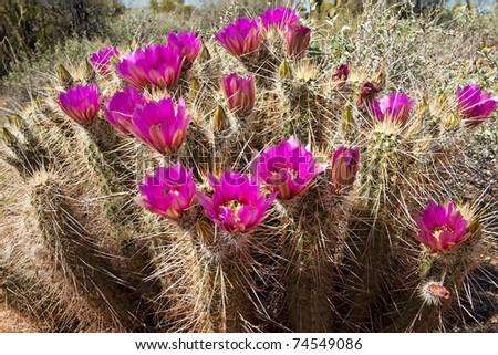 Flowering Hedgehog Cactus. - stock photo