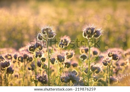 Flowering herbs in the field at dawn. - stock photo