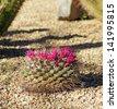 Flowering Heyder pincushion cactus in the Arizona desert - stock photo