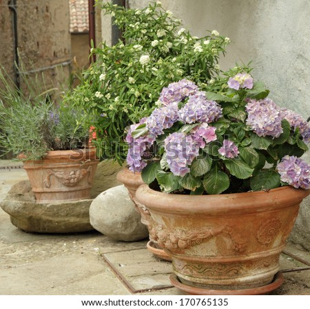 flowering hortensia and other plants  in terracotta  vases on tuscan courtyard - stock photo