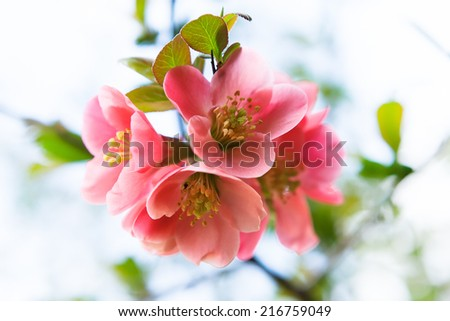 Flowering in April and May - Flowering bud and flower. - stock photo