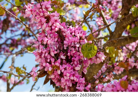 Flowering Judas tree (Cercis siliquastrum) in Judea at Har Hebron isolated on white background - stock photo
