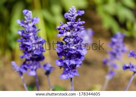 Flowering Lavandula (Lavender). Shallow depth of field (DOF). Focus on foreground. - stock photo