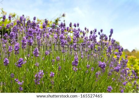 flowering lavender - stock photo