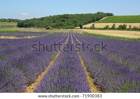 Flowering lavender fields near Valreas, Provence, France