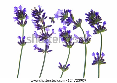 flowering lavender (Lavandula angustifolia) before a white background - stock photo
