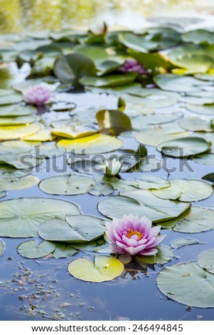 Flowering Lillypad in Pond - stock photo