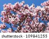 Flowering magnolia tree densely covered with beautiful fresh pink flowers - stock photo