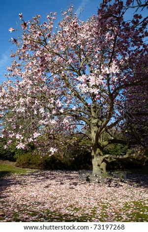 Flowering magnolia tree in a spring time