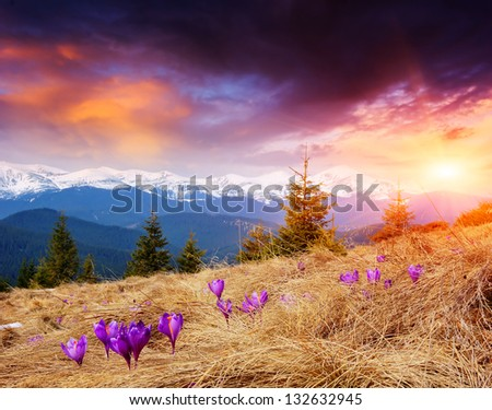 Flowering meadows and spring evening in the mountains - stock photo