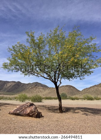Flowering Mesquite tree in Arizona mountain desert in spring time - stock photo
