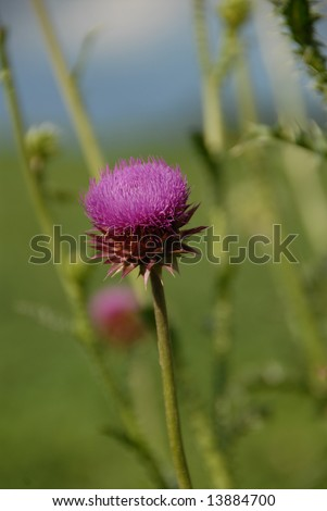 Flowering Milk Thistle - stock photo
