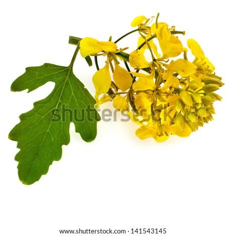 flowering mustard plant close up isolated on white background - stock photo