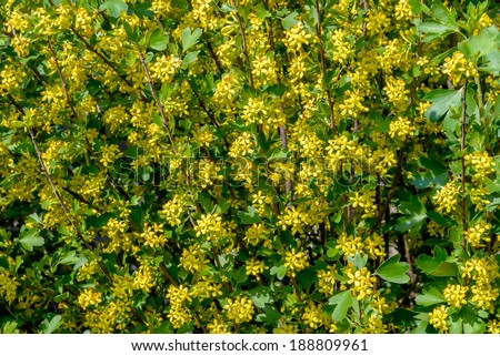 Flowering of bushes blackcurrant is photographed close up - stock photo