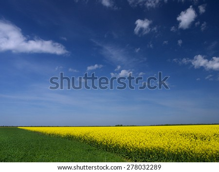 flowering of rapeseed sowings on background blue sky - stock photo