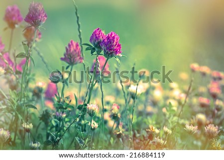 Flowering of red clover - closeup - stock photo