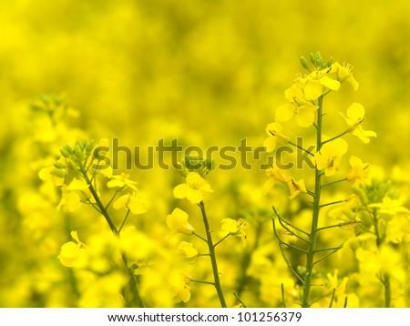 Flowering oilseed rapeseed - stock photo