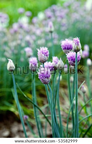 Flowering onions in the garden - stock photo