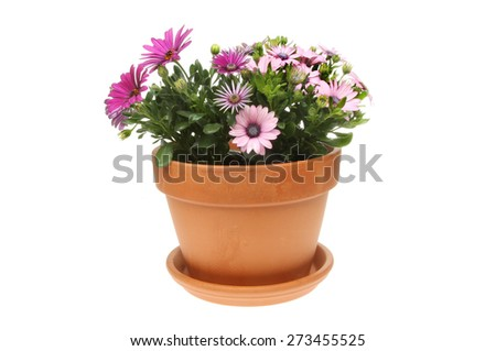 Flowering Osteospermum plants in a terracotta pot isolated against white - stock photo