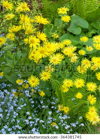 Flowering oxeye daisies  and forget-me-nots  in a garden - stock photo