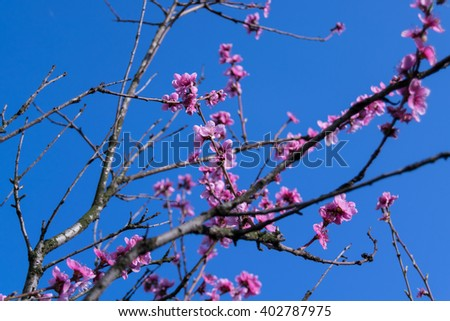 flowering peach branches in the blue background