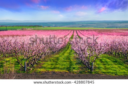 Flowering peach orchards near Istanbul. Beautiful outdoor scenery in Turkey, Europe. Colorful sunrise in the peach garden in April.