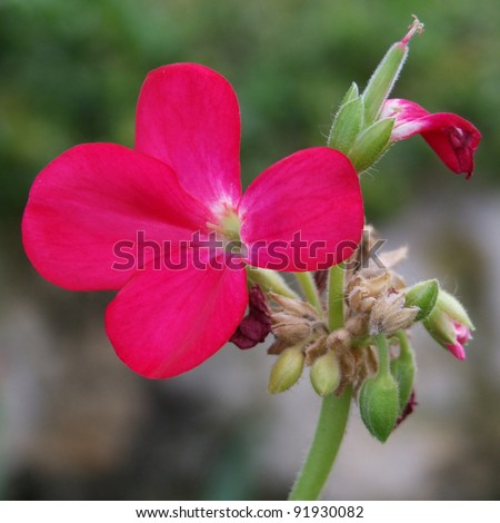 Flowering Pink Geranium - stock photo