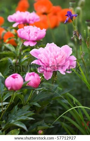 Flowering Pink Peonies, Irises and Poppies in Garden - stock photo