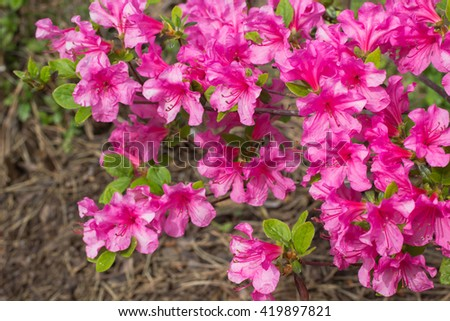 Flowering pink rhododendron bushes - stock photo