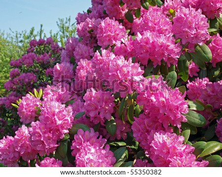 Flowering pink rhododendron near the country house - stock photo