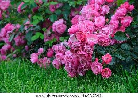 Flowering pink roses in the garden. Shallow depth of field - stock photo