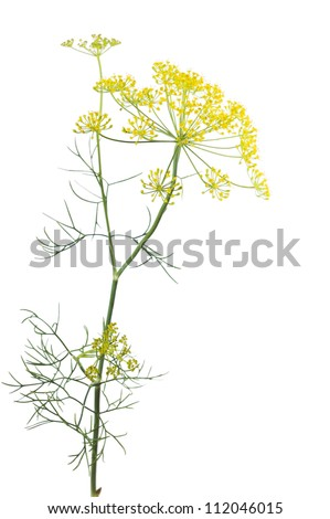 Flowering plant dill (Anethum graveolens) on a white background - stock photo