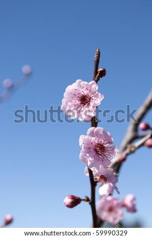 flowering plum - stock photo