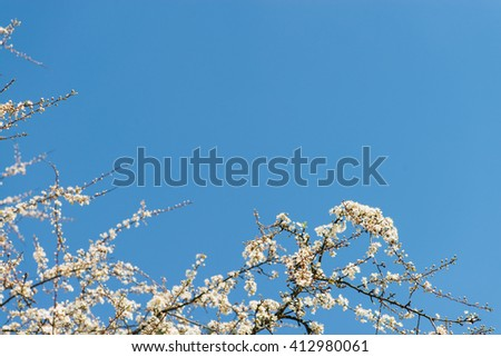 flowering plum in the spring against the blue sky with copy space - stock photo