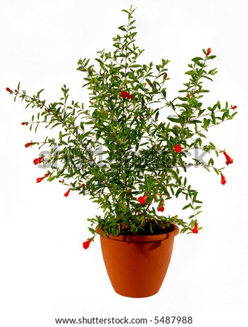 Flowering pomegranate in the flowerpot - stock photo