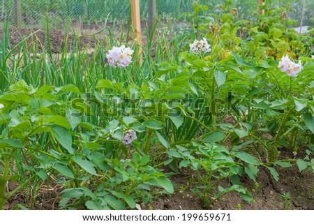 Flowering potato plants on an allotment - stock photo