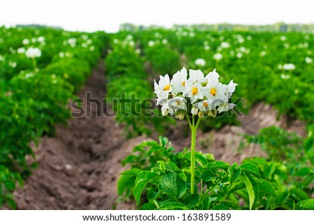 Flowering potatoes on the field. - stock photo