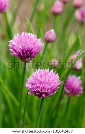Flowering purple chive blossoms against green are a favorite homegrown herb found in spring gardens.  Botanical Name - Allium Schoenoprasum - stock photo
