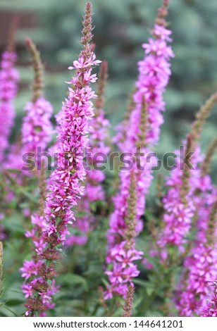 flowering purple loosestrife plant (Lythrum Salicaria) or crybaby-grass, close-up, selective focus - stock photo