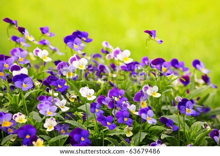 Flowering purple pansies in the garden as floral background - stock photo