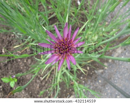 Flowering purple salsify, Tragopogon porrifolius