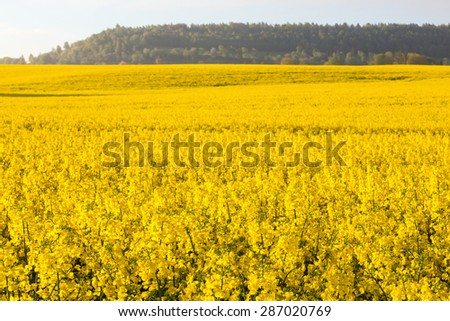 Flowering rap fields with a hill in countryside landscape