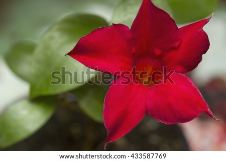Flowering red Mandevilla rose Dipladenia isolated on white. Mandevilla - a genus of tropical and subtropical flowering vines belonging to the dogbane family, Apocynaceae. A common name is rocktrumpet