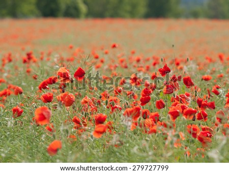 Flowering red poppies grown for poppy-seed - stock photo